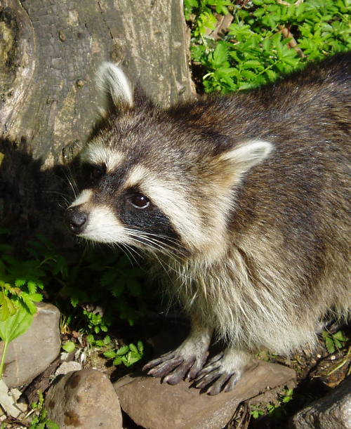 Places To Visit In Us During February: Raccoon Totem Animal